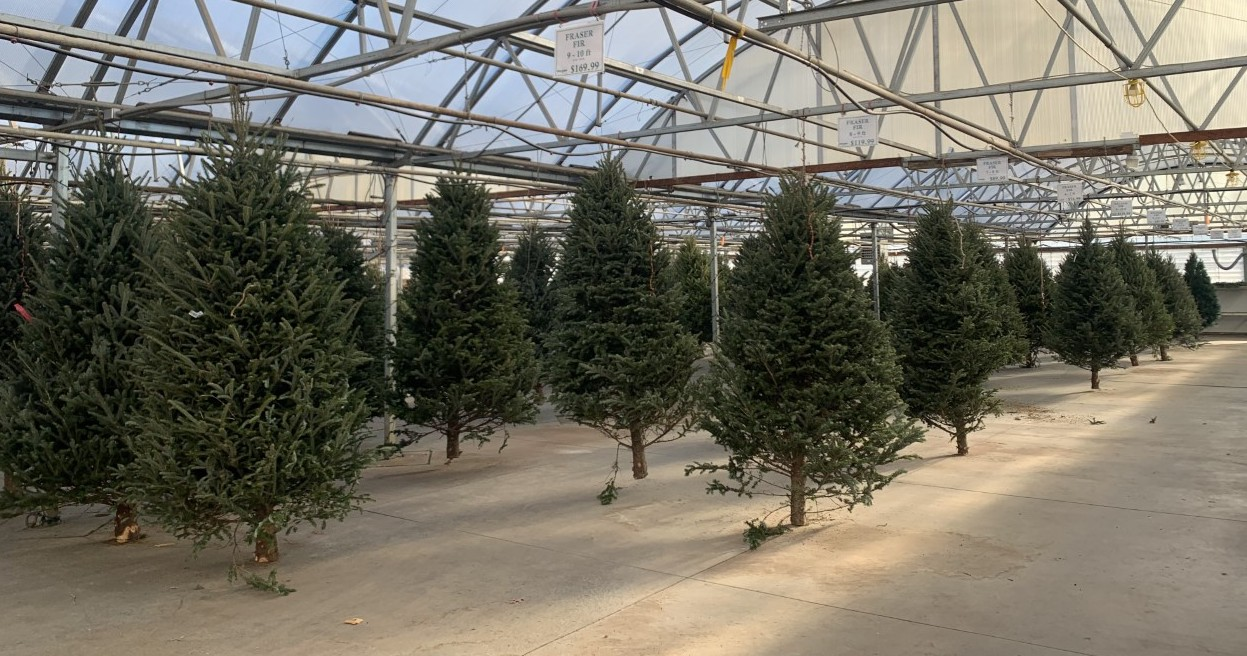 Dundee Nursery Indoor Christmas Trees 2020