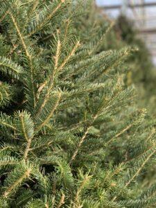 Dundee Nursery Christmas Tree Closeup